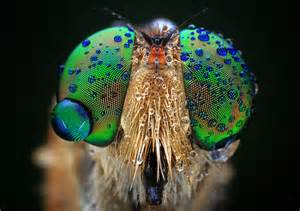eyes of insects